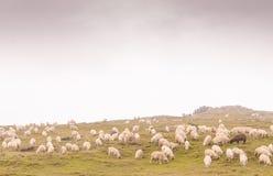 Sheeps at meadow Royalty Free Stock Photo