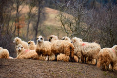 Sheeps at meadow Stock Image