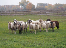 Sheeps on meadow Stock Images