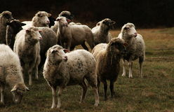 Sheeps at meadow Stock Images
