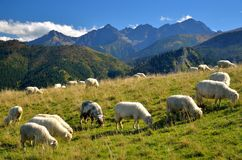 Sheeps on the meadow. Sheeps on the mountain meadow in polish tatra stock photo