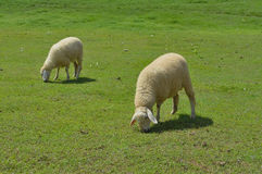 Sheeps in a meadow Stock Image