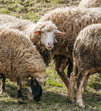 Sheeps in a meadow Royalty Free Stock Photo