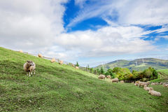 Sheeps in a meadow. Sheeps in a meadow on the mountains Stock Photography