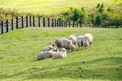 Sheeps in a meadow. Stock Images
