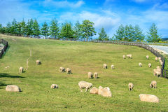 Sheeps in a meadow. Royalty Free Stock Photo