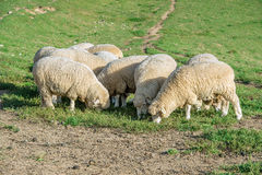 Sheeps in a meadow. Royalty Free Stock Images