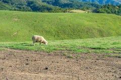 Sheeps in a meadow. Stock Photos