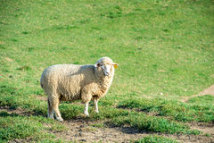 Sheeps in a meadow. Royalty Free Stock Image