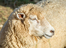 Sheeps in a meadow. Royalty Free Stock Photos