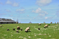 Sheeps in a meadow near the Mont Saint Michel in Normandie Royalty Free Stock Image