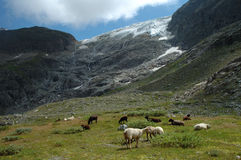 Sheeps on meadow nearby glacier in Alps in Switzerland Stock Photo