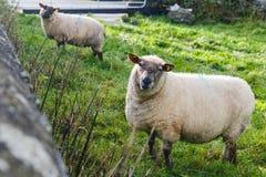 Sheeps on meadow Stock Photos