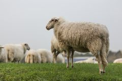 Sheeps on a meadow Royalty Free Stock Photo