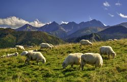 Sheeps on a meadow. Sheeps on a Rusinowa Glade, one of the most beautiful place in Polish Tatra Mountains Stock Photography