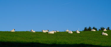 Sheeps on a meadow. Some sheeps on a juicy meadow Royalty Free Stock Photography