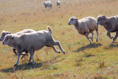 Sheeps on a meadow Stock Photo