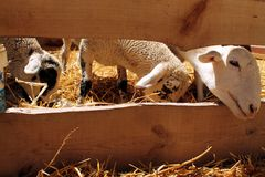 Sheeps during the Medieval Week of Saint George Stock Photos