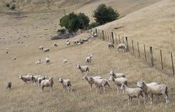 Sheeps merinos en pasto Fotos de archivo libres de regalías