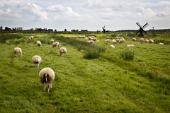 Sheeps with mills in Holland Royalty Free Stock Photos
