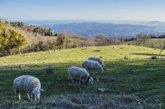 Sheeps in mountain Royalty Free Stock Photography