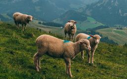 Sheeps on a mountain farm on a cloudy day the swiss alps brienzer rothorn switzerland stock photography