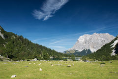 Sheeps at mountain meadow with lake seebensee Royalty Free Stock Photo