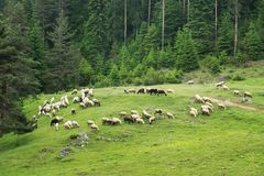 Sheeps on the mountain meadow Royalty Free Stock Images