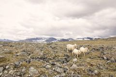 Sheeps on mountain in Norwegian National park stock image