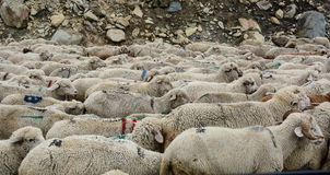 Sheeps on the mountain road in Northern India Royalty Free Stock Photography