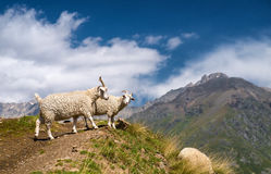 Sheeps. In mountain valley. Animals in nature Stock Images