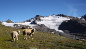Sheeps in the mountains Royalty Free Stock Images