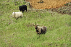 Sheeps at the mountains Royalty Free Stock Photos