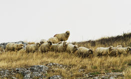 Sheeps in the mountains Stock Photos