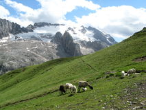 Sheeps in the mountains Royalty Free Stock Photography