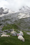 The sheeps in mountains of Alps in Bavaria, Germany Royalty Free Stock Photos