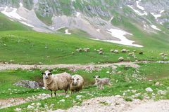 Sheeps in mountains Royalty Free Stock Images