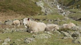 Sheeps in the mountains of Norway stock video