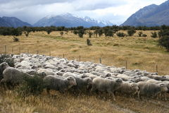 Sheeps, Mt Cook, New Zealand Royalty Free Stock Photos