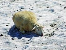 Sheeps na Alpejskich paśnikach Alviergruppe pasma górskiego aport orzeźwienie od lata słońca zdjęcie royalty free