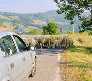 Sheeps na estrada Foto de Stock Royalty Free