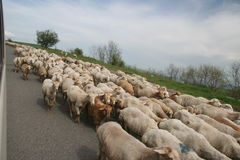 Sheeps na estrada Foto de Stock Royalty Free