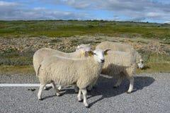 Sheeps na estrada Fotografia de Stock Royalty Free