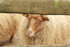 Sheeps na gospodarstwie rolnym Obrazy Royalty Free