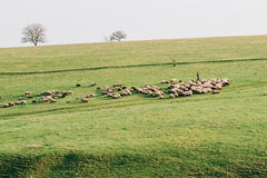 Sheeps na polu Fotografia Royalty Free