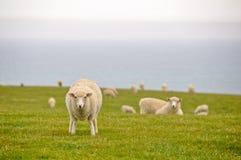 Sheeps nahe dem Meer, Neuseeland Stockfotografie