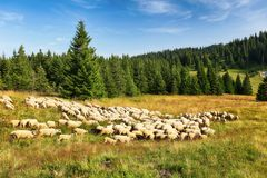 Sheeps in nature pasture mountain. Royalty Free Stock Photos