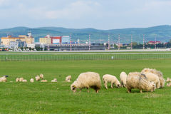 Sheeps near the airport of Sibiu city in Romania show contrast between nature and urban. Space Royalty Free Stock Photo