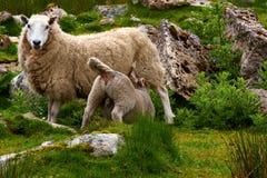 Sheeps near John of Groats Royalty Free Stock Photos