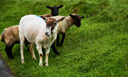 Sheeps near John o`Groats Stock Photography